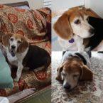 three images of gabi the beagle